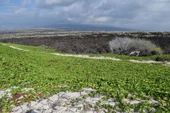Vegetazione al suolo verde che copre la sabbia alla spiaggia di Makalawena, Kailua Kona, grande isola, Hawai Fotografie Stock Libere da Diritti