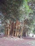 Vegetazione alta del bambù della terra su suolo franco fotografia stock libera da diritti