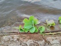 Vegetazione del lago Fotografia Stock
