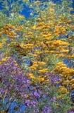 Vegetazione del Sudafrica con un albero del Jacaranda del violett e dorato fotografia stock libera da diritti