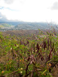 Vegetazione della pianta su Diamond Head Crater a Honolulu Hawai Immagini Stock Libere da Diritti