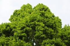 Vegetazione della quercia Fotografia Stock