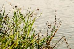 Vegetazione della riva del fiume Fotografia Stock