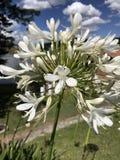 Vegetazione, fiori bianchi in natura Immagine Stock