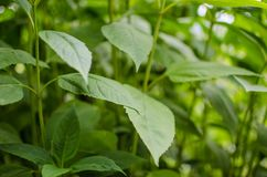 Vegetazione generica di colore verde intenso per fondo e struttura Topinambur della pianta, fotografie stock