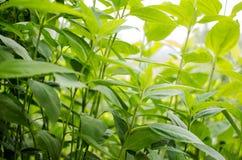 Vegetazione generica di colore verde intenso per fondo e struttura Topinambur della pianta, fotografia stock libera da diritti