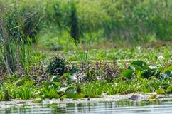 Vegetazione nel delta del Danubio Immagini Stock Libere da Diritti
