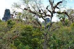 Vegetazione ricca e la cima delle tempie antiche di maya in Tikal Immagine Stock