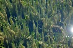 Vegetazione subacquea d'acqua dolce verde Immagini Stock Libere da Diritti
