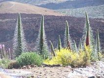 Vegetazione sul EL Teide del vulcano Fotografia Stock