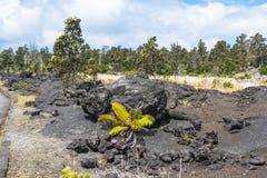 Vegetazione sul giacimento di lava, Hawai Fotografia Stock