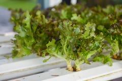 Vegettable υδροπονικό για την υγεία Στοκ Εικόνες