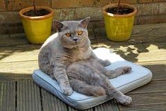 Vegged out pedigree cat Stock Photos