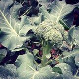Veggie. Broccoli bush fun Stock Photos