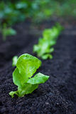 Veggie Patch: Lettuce. Our newly planted veggie patch Royalty Free Stock Photography