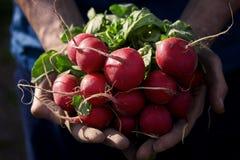 Vehículos orgánicos Rábano fresco en manos del granjero Foto de archivo