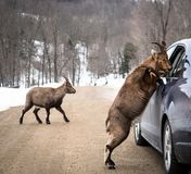 Vehicle papers check by a Chamois. A Chamois and a mate stopped a vehicle and asked for carrots on the road of the Omega Park, Quebec, Canada. These semi-captive Royalty Free Stock Photos