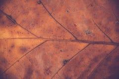 Veias da folha do carvalho Fotos de Stock