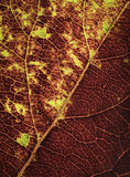 Veias no detalhe de folhas de outono Fotografia de Stock