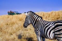 Veicolo 10 dell'azionamento del gioco della zebra Immagine Stock