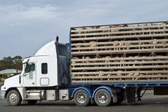 Veicolo di trasporto delle pecore con il caricamento completo Immagini Stock