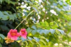 Veigela花和绿色背景 库存照片
