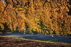 Veil of Autumn Yellow Leaves Stock Photos