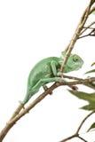 Veil Chameleon lizard isolated on white Stock Images
