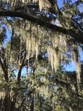 Veil of Spanish Moss. Moss covers trees at Suwannee River Royalty Free Stock Photography