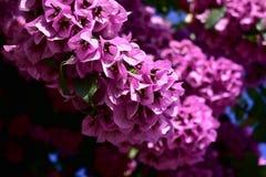 Veilchen blüht Nahaufnahme Bush mit grünen Blättern Sonniger Tag, blauer Himmel lizenzfreies stockbild