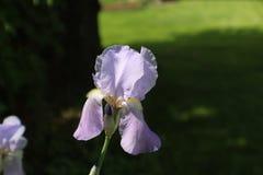 Veilchen farbige Iris Lizenzfreie Stockfotos