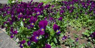 Veilchen im Sun 2 Lizenzfreie Stockfotos