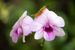 Veilchen u. Caterpillar Lizenzfreie Stockbilder