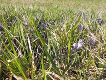 Veilchen verstecken sich im Gras Stockfotografie