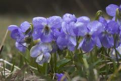 Veilchen (Viola) Lizenzfreie Stockfotos