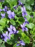 Veilchenfrühlingsblumen Lizenzfreie Stockfotos