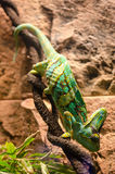 Veiled chamaeleon Royalty Free Stock Photography