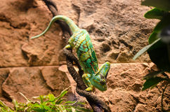 Veiled chamaeleon Royalty Free Stock Image