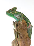 Veiled Chameleon. Photograph of a Veiled Chameleon clinging to a piece of driftwood against a white background Royalty Free Stock Photography