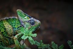 Veiled Chameleon. Posing on branch in Yemen Royalty Free Stock Photos