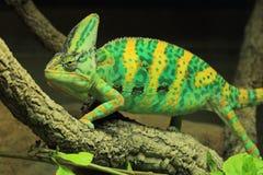 Veiled chameleon. The veiled chameleon strolling on the tree Stock Images