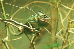 Veiled chameleon royalty free stock photos