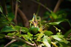 Free Veiled Chameleon Stock Image - 33813991
