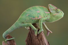 Veiled Chameleon Royalty Free Stock Images