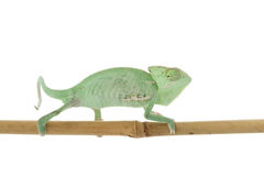 Veiled Chameleon Stock Photos