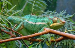 Lizard veiled chameleon stock image