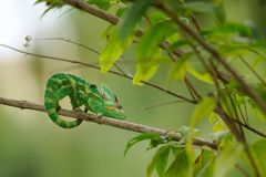 Veiled chameleon on branch Stock Image