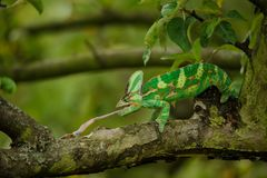 Veiled chameleon catching his prey on tree branch Stock Photography