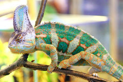 Veiled chameleon, Chamaeleo calyptratus. A veiled chameleon (Chamaeleo calyptratus) walking on a branch Royalty Free Stock Images
