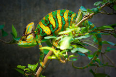 Veiled chameleon. The Veiled chameleon (Chamaeleo calyptratus, also called Yemen chameleon) is a large species of chameleon found in the mountain regions of Royalty Free Stock Photography